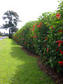 Hibiscus hedge along roadway.